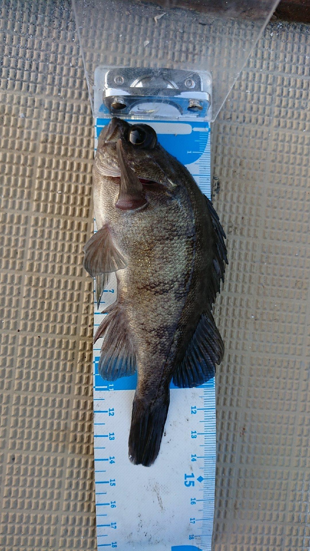 どさんぴんさんの投稿画像,写っている魚はメバル,