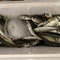 ひょーどるさんの神奈川県でのアジの釣果写真