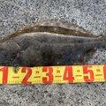 すこ@釣りさんのヒラメの釣果写真