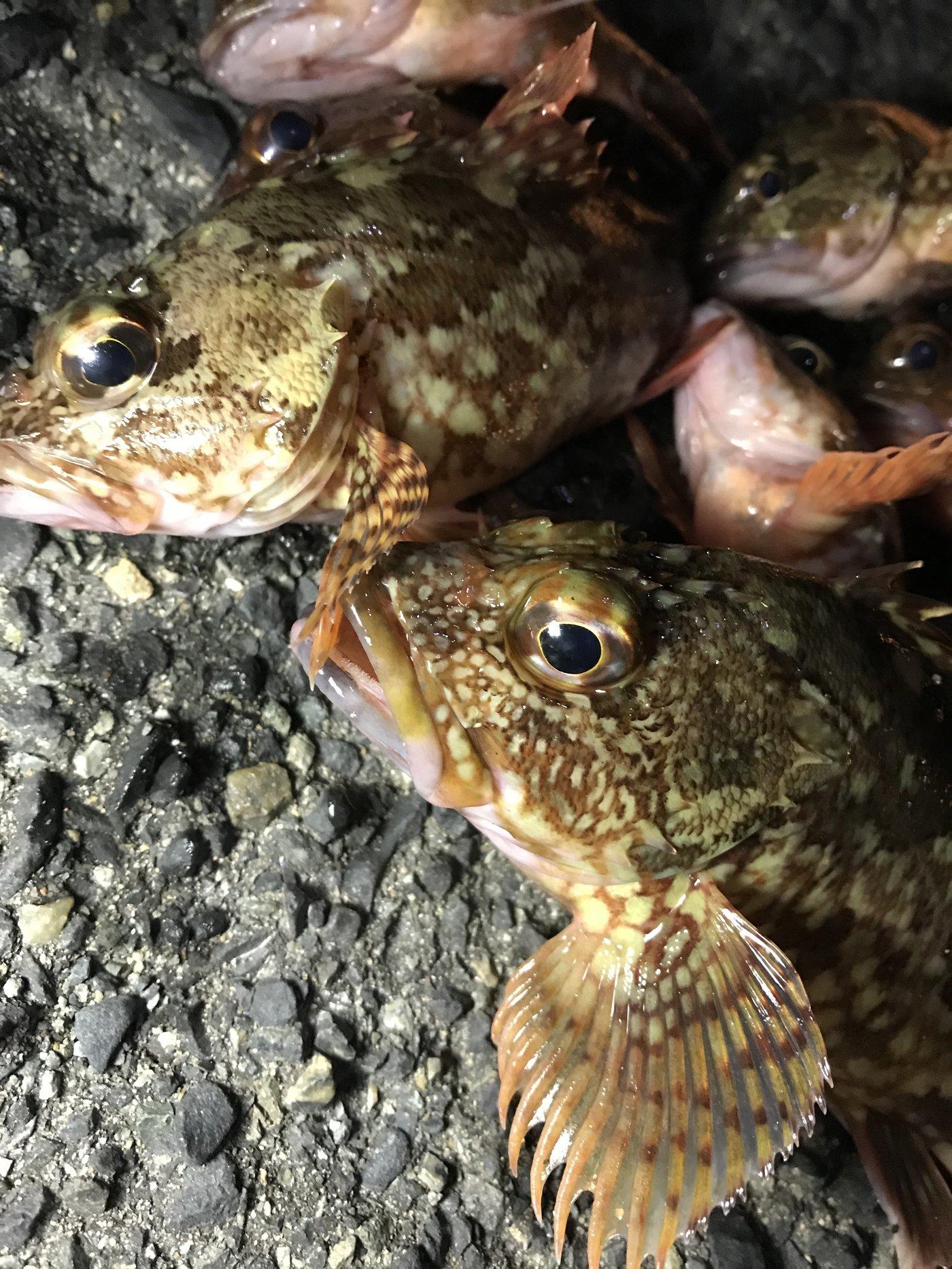 きんちゃんさんの投稿画像,写っている魚はカサゴ