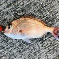 うたまるGTさんの山口県下松市でのマダイの釣果写真