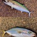 ARATAさんの新潟県糸魚川市での釣果写真