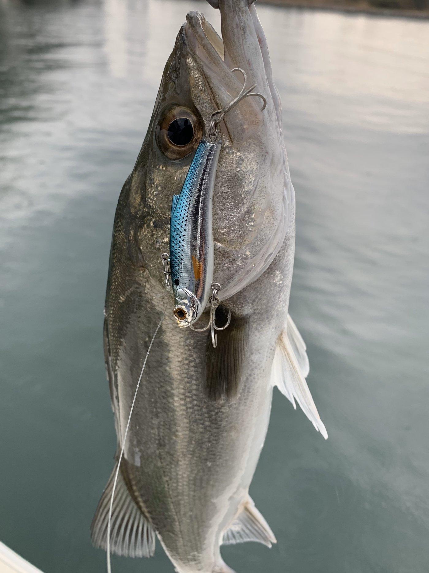 古藤さんの投稿画像,写っている魚はスズキ