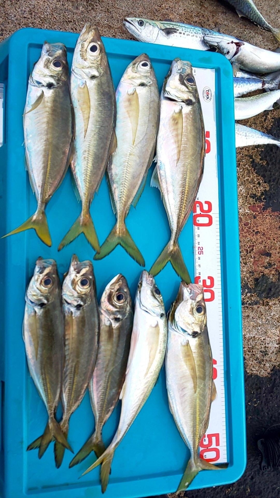 エスティマさんの投稿画像,写っている魚はアジ