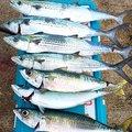 エスティマさんの山形県での釣果写真