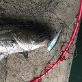 マコトマンさんの千葉県千葉市での釣果写真