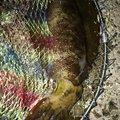 Alfさんの佐賀県唐津市での釣果写真