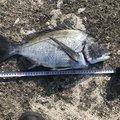 chachaさんのクロダイの釣果写真