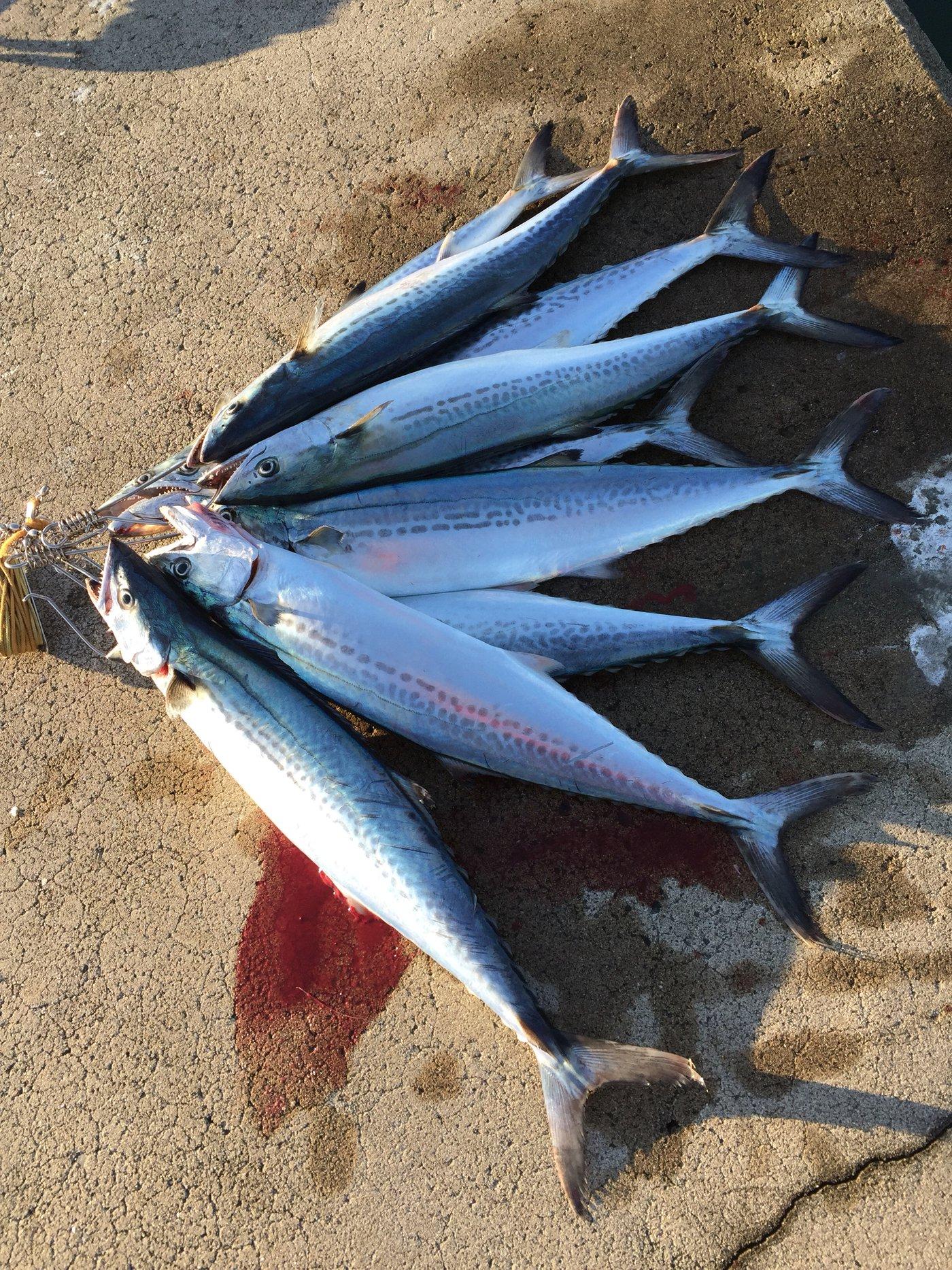キャッチ&イートさんの投稿画像,写っている魚はサワラ