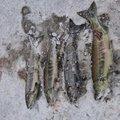 ゆうきさんの北海道目梨郡でのサケの釣果写真