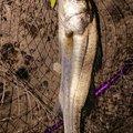 マンボウさんの千葉県浦安市でのスズキの釣果写真
