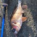 もうすぐで中学校さんの和歌山県での釣果写真