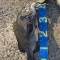 キビやんさんのクロダイの釣果写真