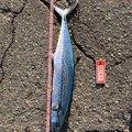 ラッシュさんの富山県での釣果写真