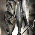 ももたろさんの新潟県での釣果写真