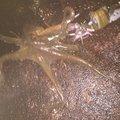かずさんの新潟県でのマダコの釣果写真