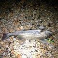 越後さんの新潟県での釣果写真