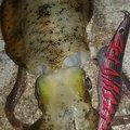 てるさんの沖縄県那覇市でのアオリイカの釣果写真