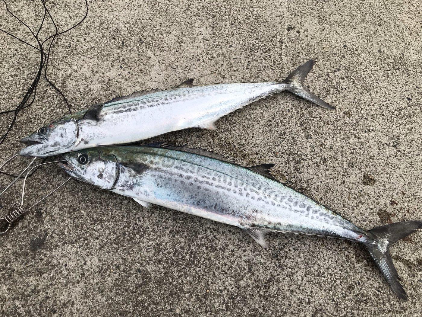 いまいちさんの投稿画像,写っている魚はサワラ