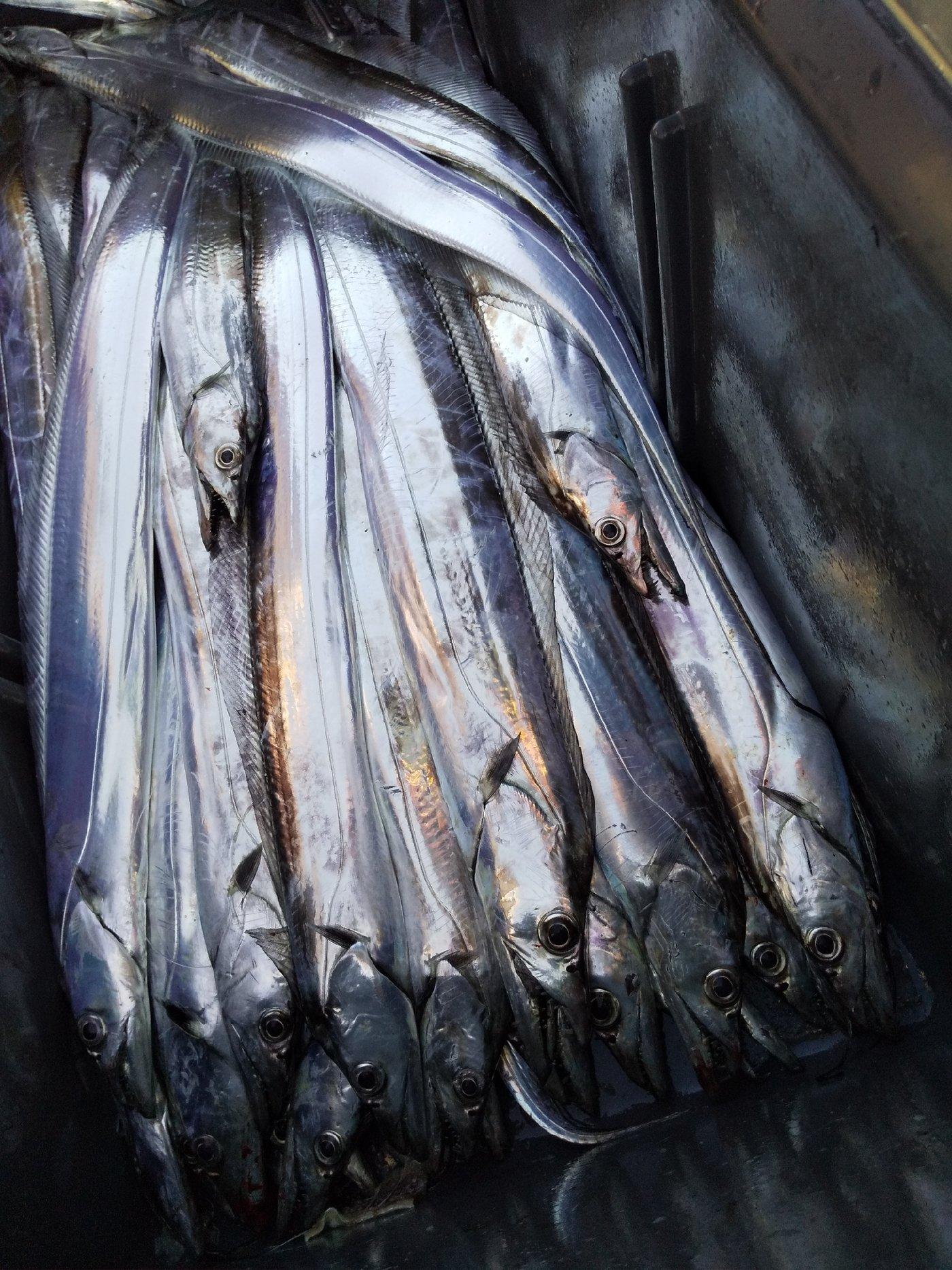 ななみんのぱぱさんの投稿画像,写っている魚はタチウオ