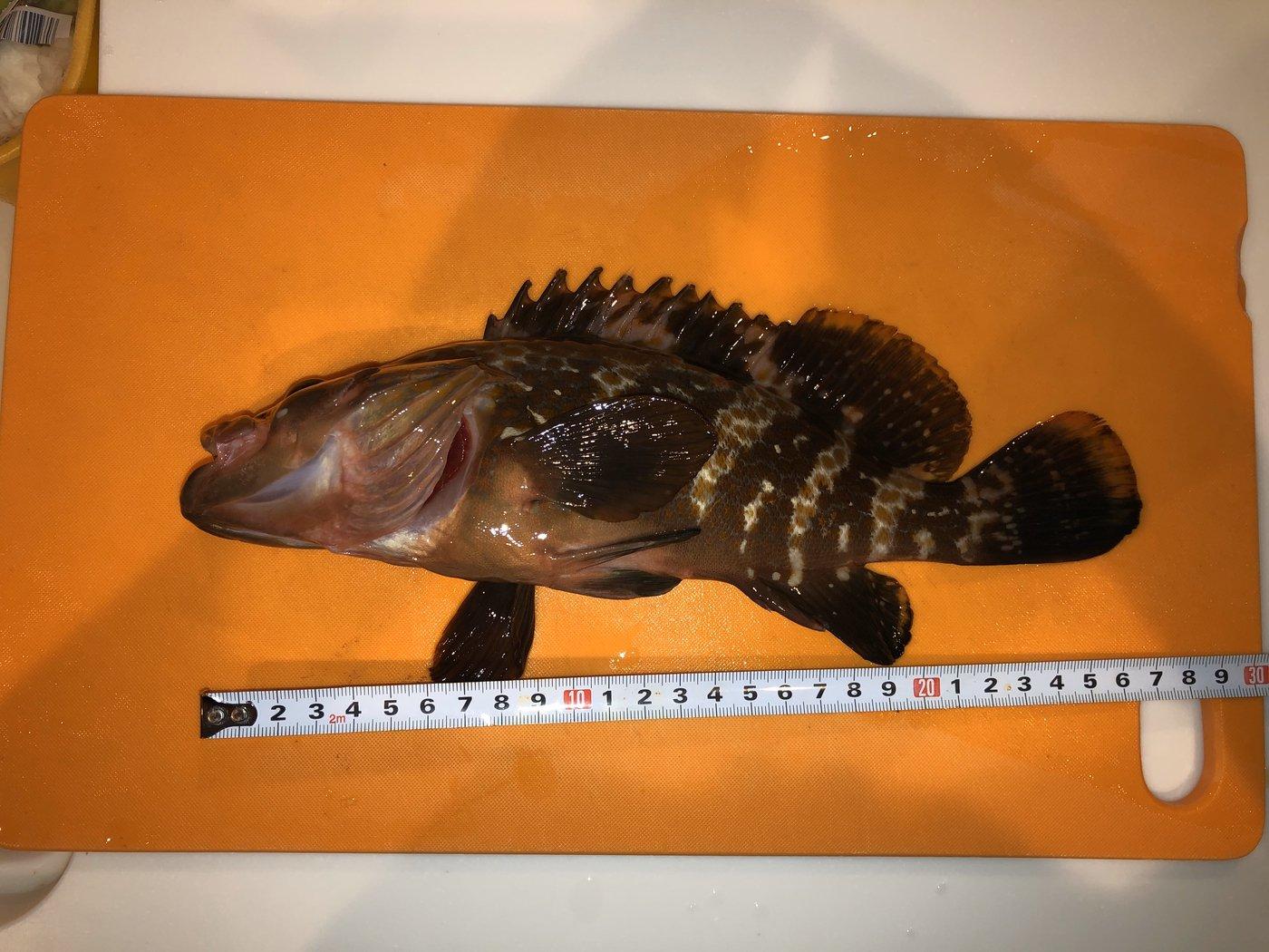 海猿さんの投稿画像,写っている魚はキジハタ