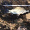 ニゴイさんの千葉県でのヘラブナの釣果写真