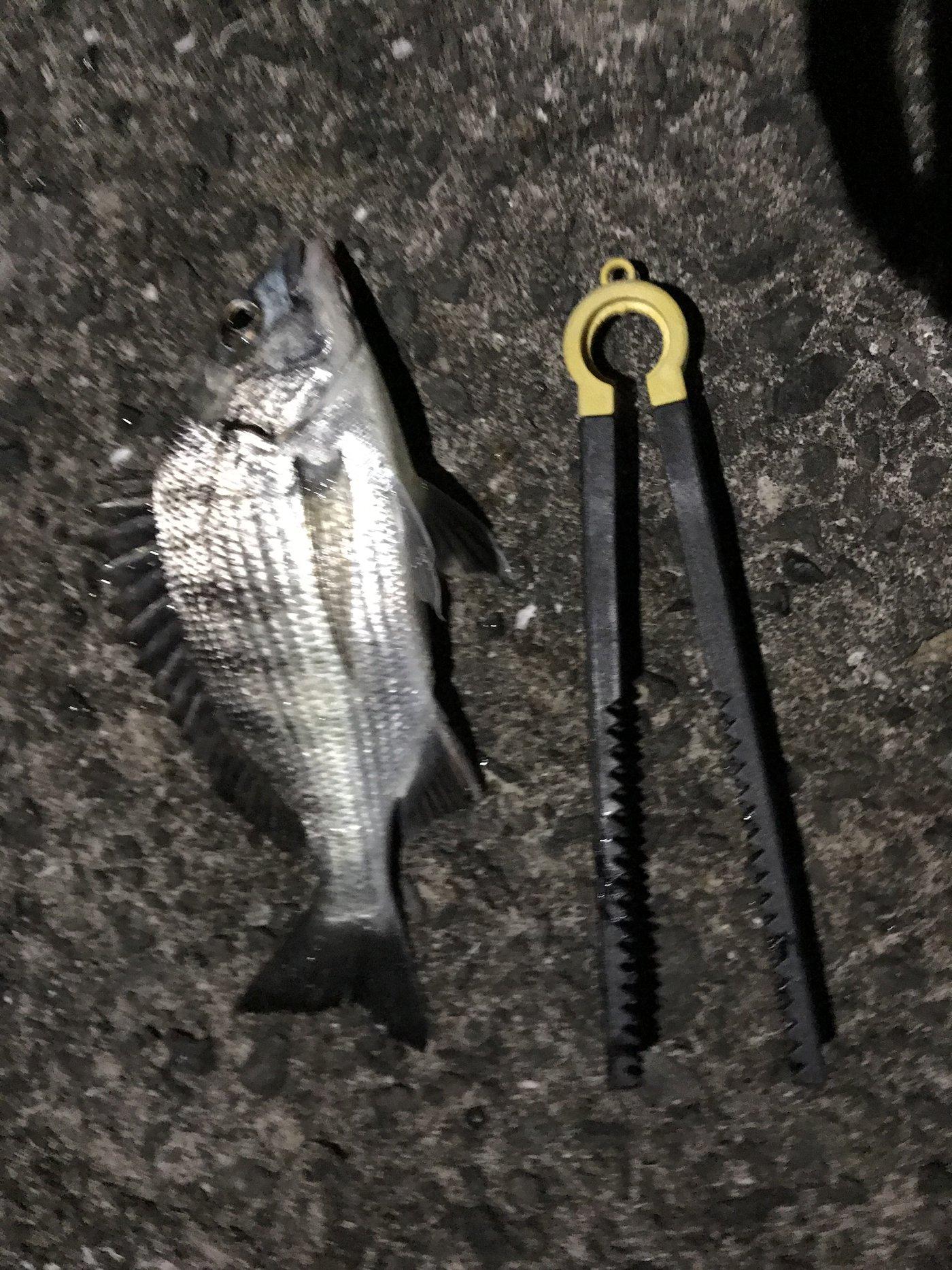 ナブラ太郎さんの投稿画像,写っている魚はクロダイ