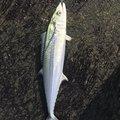 梟-ふくろう-さんの新潟県での釣果写真