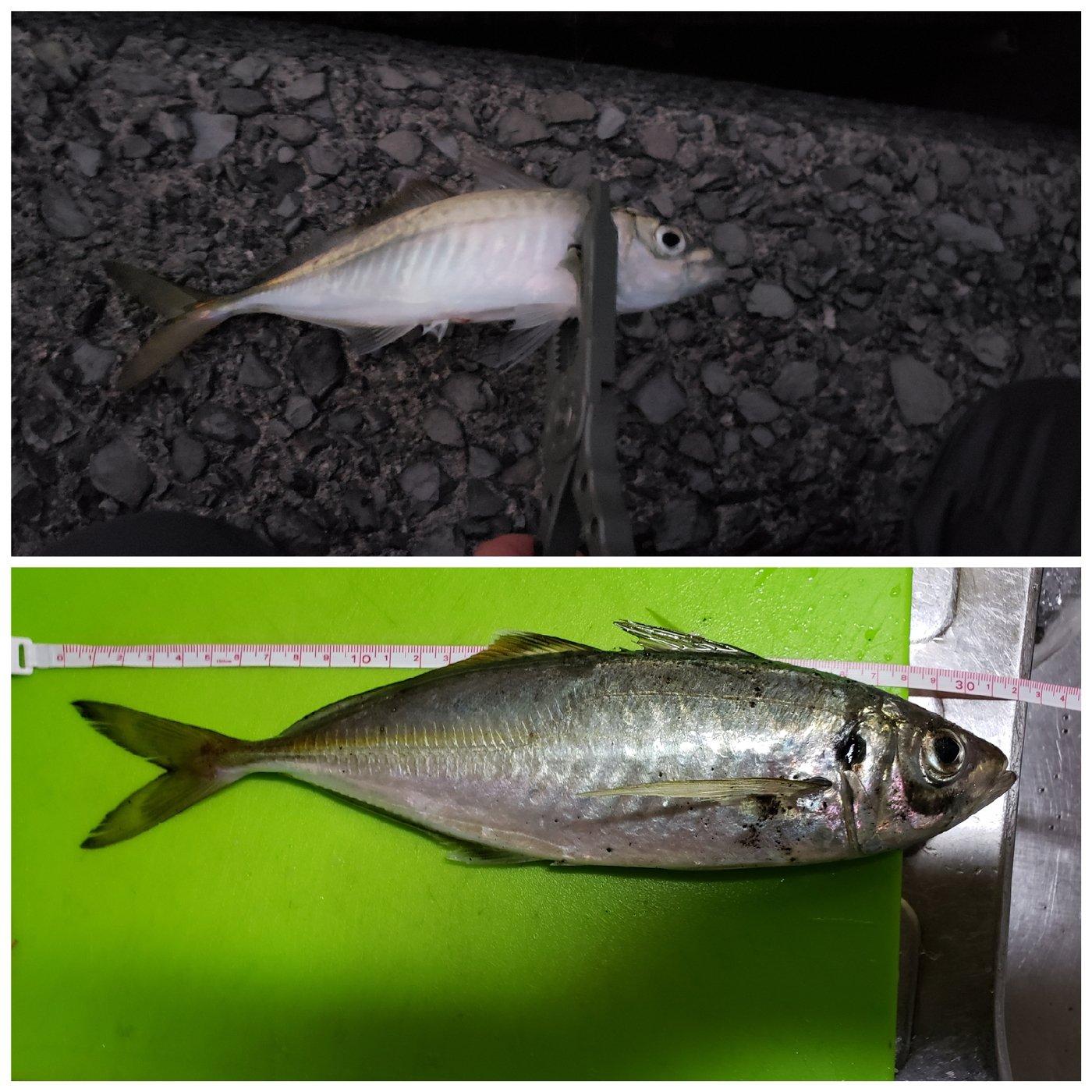 Showさんの投稿画像,写っている魚はアジ