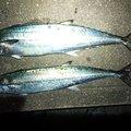 ケイさんの長崎県での釣果写真