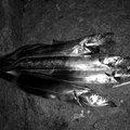 ギンポ野郎さんの和歌山県での釣果写真