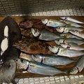 ゆちさんの長崎県での釣果写真