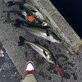 いとちんさんの千葉県での釣果写真