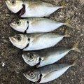 せいたドットコムさんの兵庫県での釣果写真