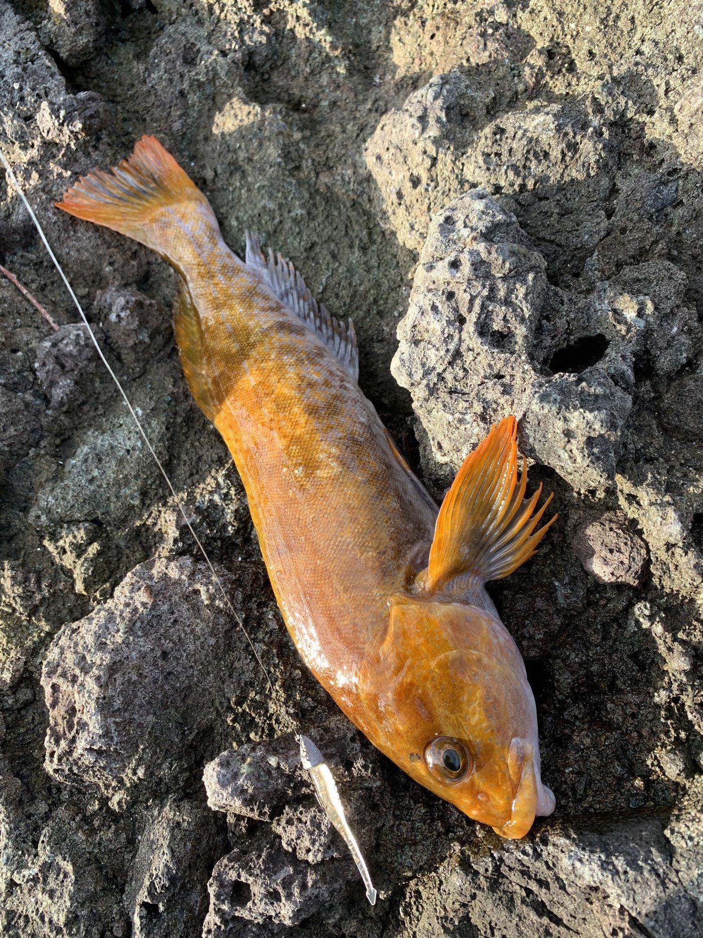 PESIさんの投稿画像,写っている魚はアイナメ