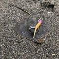 しんでぃーさんの千葉県での釣果写真
