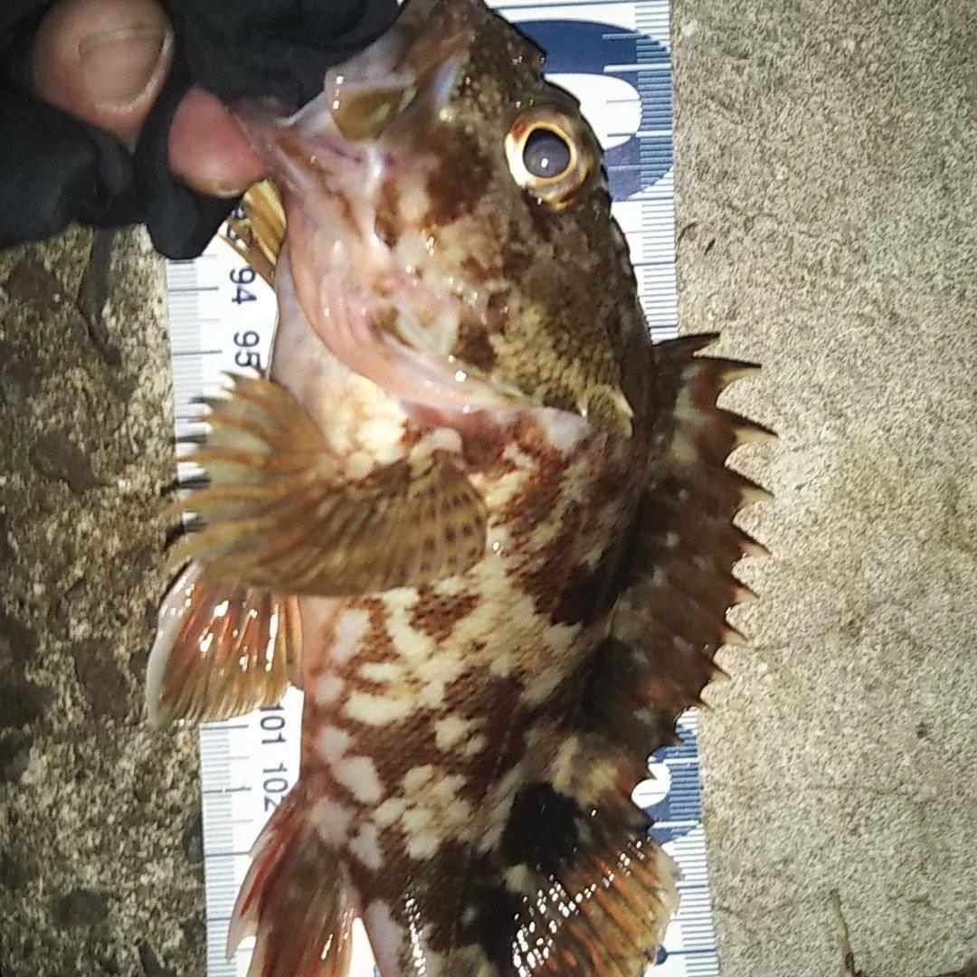 光さんの投稿画像,写っている魚はカサゴ