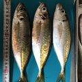 ハイレ・セラシエさんの兵庫県での釣果写真