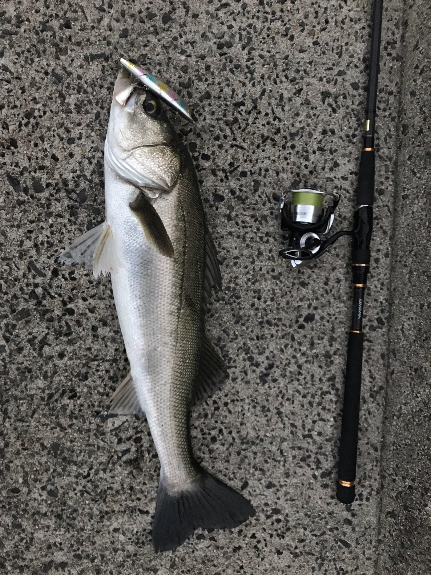 マックさんの投稿画像,写っている魚はスズキ