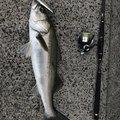 マックさんの石川県でのスズキの釣果写真
