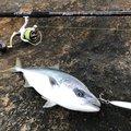 釣人Aさんの千葉県での釣果写真