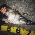 こーきさんの千葉県での釣果写真