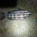 蓬さんの岡山県での釣果写真