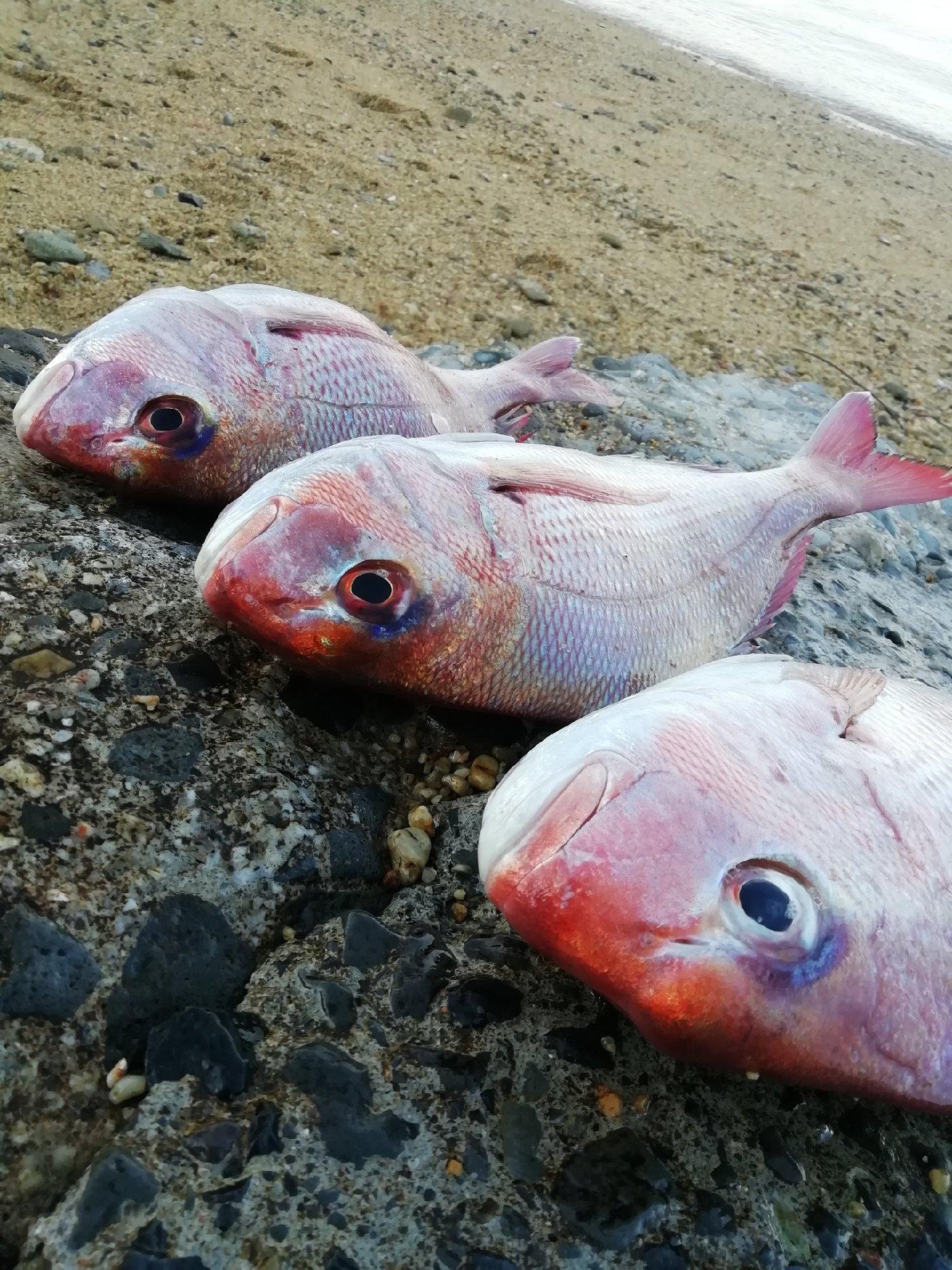 sanuki17@さんの投稿画像,写っている魚はマダイ
