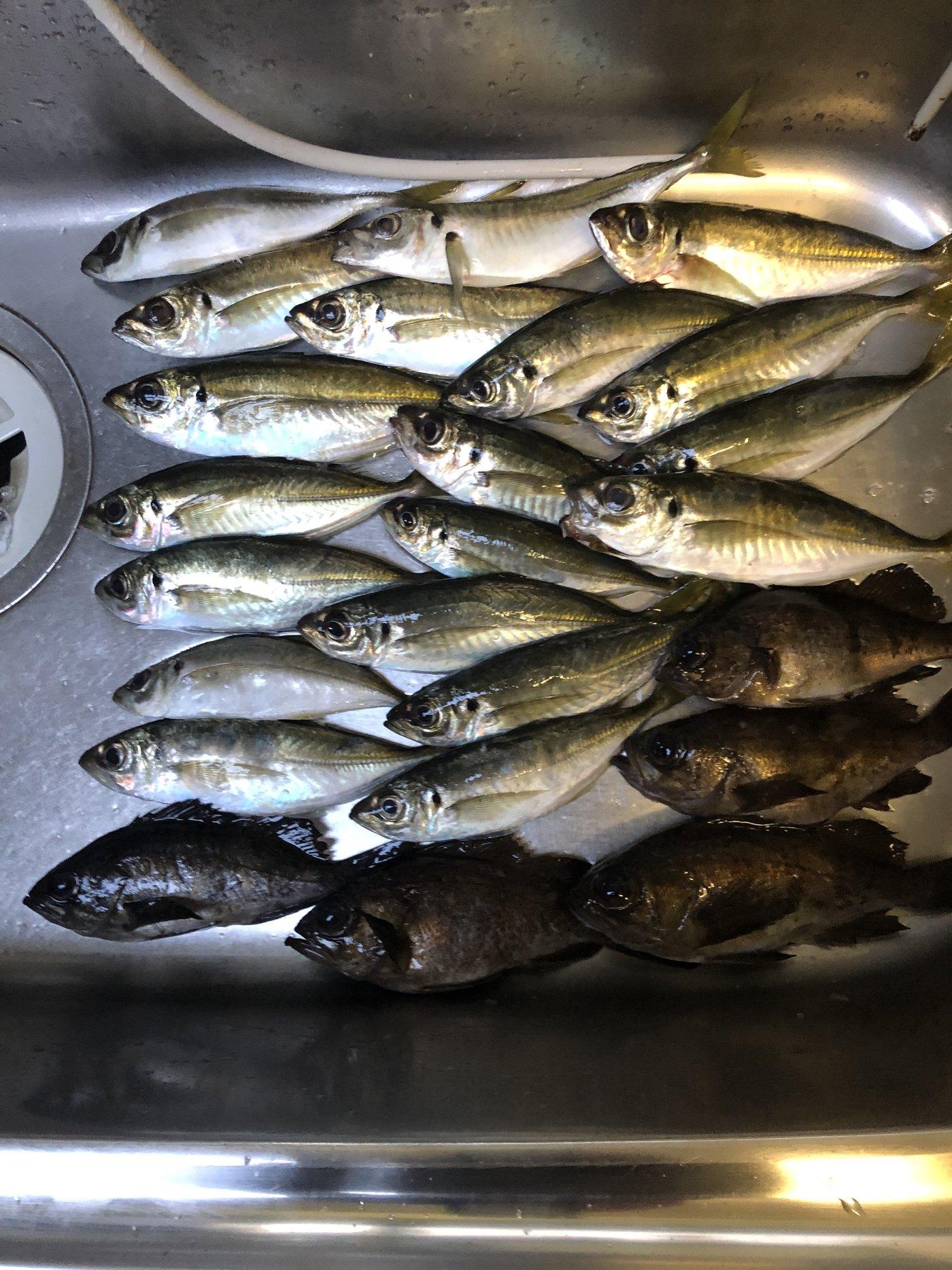 トミーさんの投稿画像,写っている魚はアジ,メバル