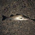 ロヒーさんのスズキの釣果写真