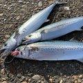 たろうさんの新潟県での釣果写真