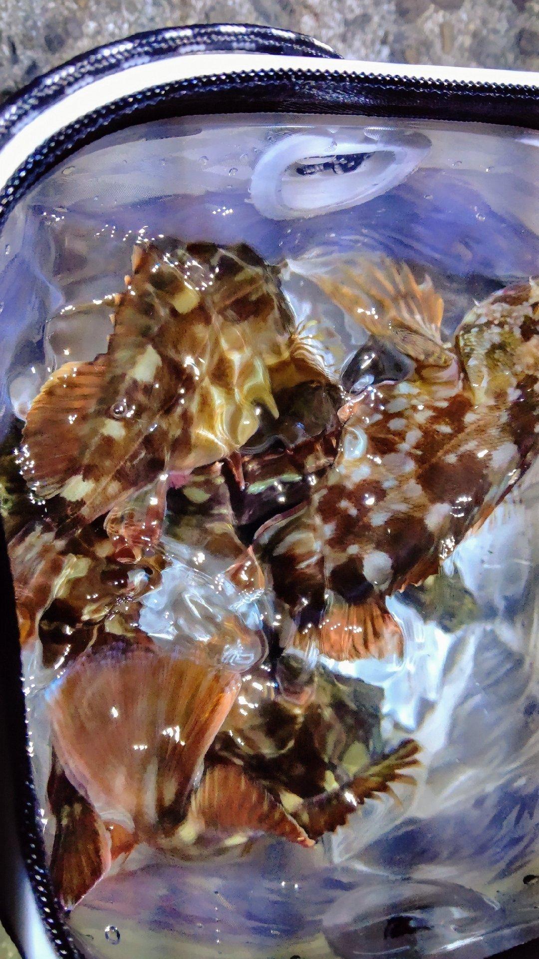 穴吹さんの投稿画像,写っている魚はカサゴ