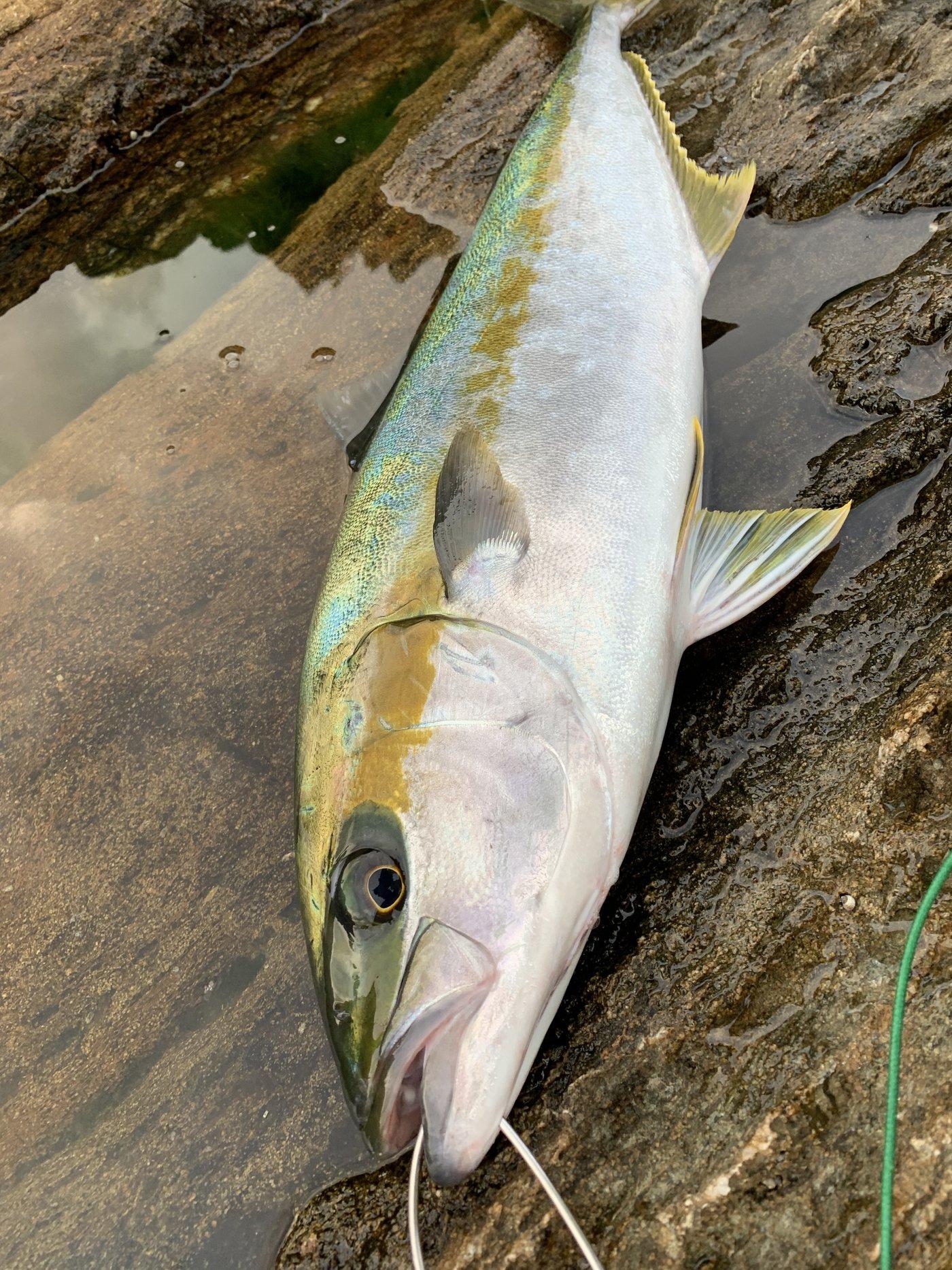 #べる坊#さんの投稿画像,写っている魚はヒラマサ