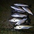 あっくんさんの神奈川県平塚市でのスズキの釣果写真
